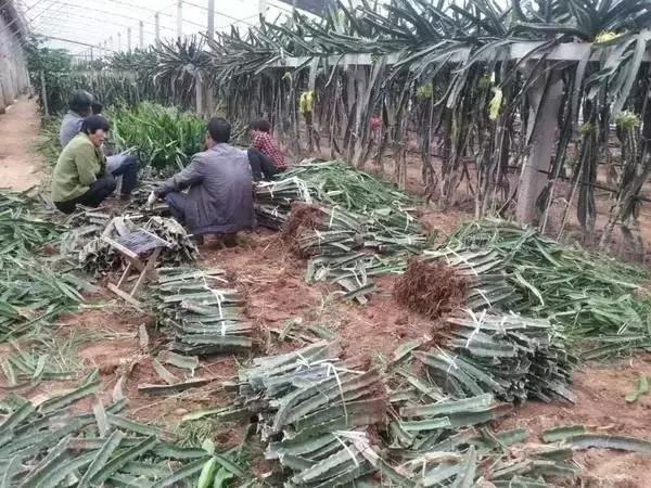 火龙果种植管理方法