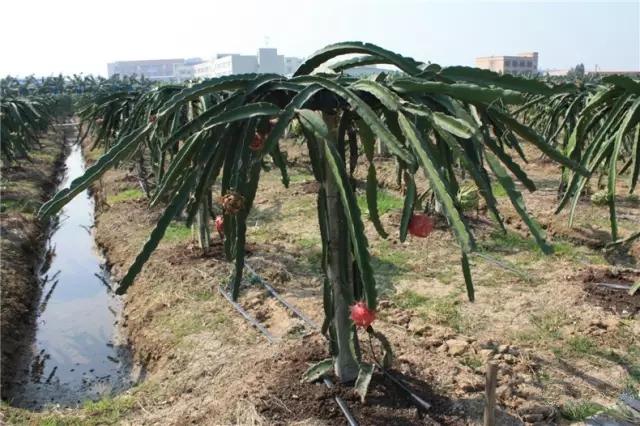 火龙果种殖栽培技术分享