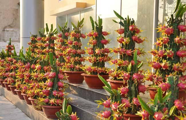 火龙果的盆栽种植