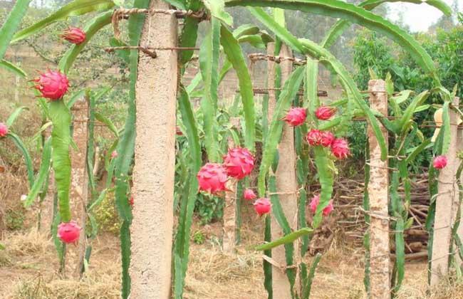 火龙果什么时候种植比较好
