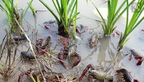提高小龙虾养殖效益的关键技术