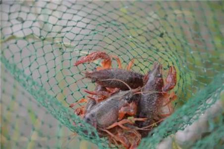 小龙虾养殖需要经常换水吗
