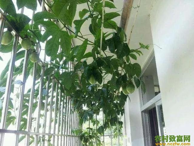 家庭搭架种植百香果步骤方法