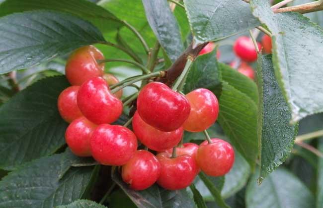 樱桃虫子是什么虫?