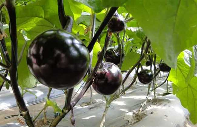 黑番茄是转基因的吗?