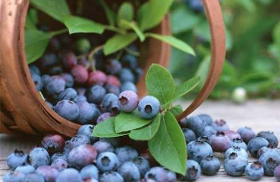 蓝莓种植方法技术