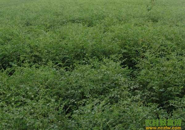 甘草种植的市场前景如何?