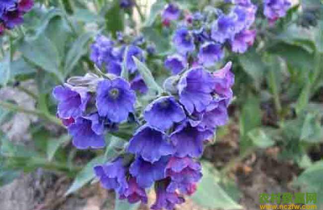 紫草高产栽培技术