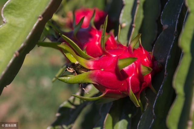在北方也能种火龙果!只需3个温度计 在北方就能种出新鲜的火龙果