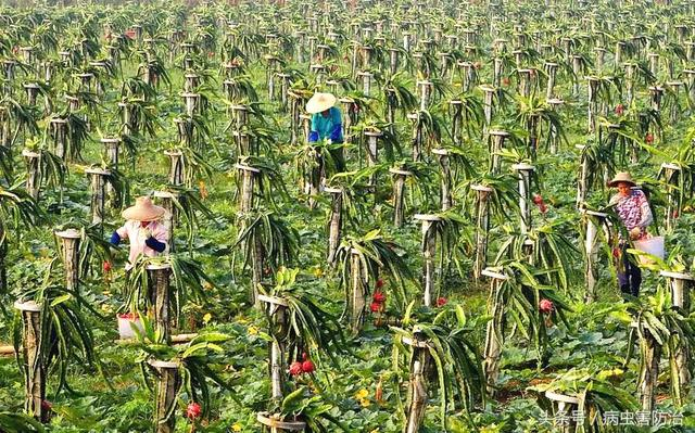 种植火龙果应该注意些什么呢?火龙果的种植管理技术
