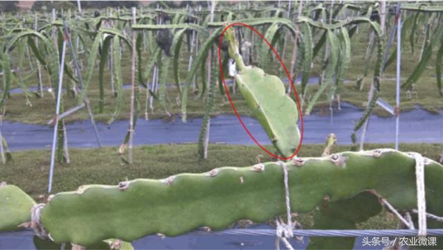 火龙果老挂果枝条长度不足40-50公分,如何修剪?