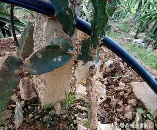 火龙果种植细节多,看图解决常见病害问题