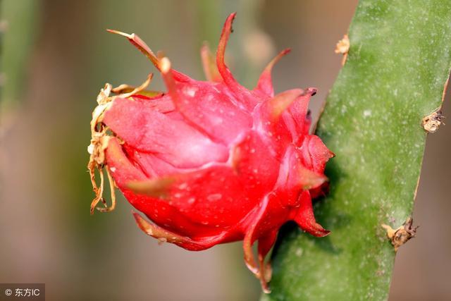 火龙果怎么种植才能高产?火龙果种植方法和病虫害防治