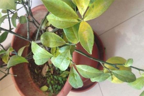 柠檬树黄叶落叶怎么办图片