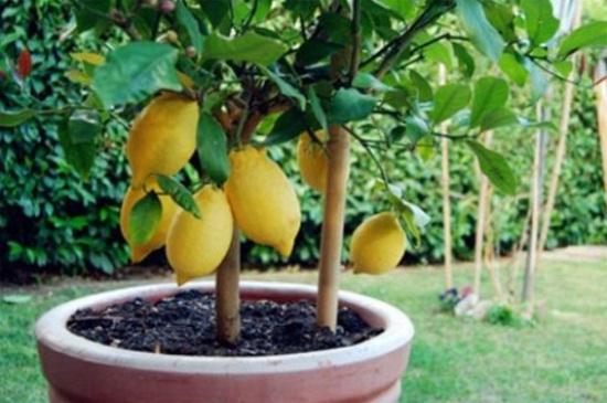 柠檬树黄叶子图片