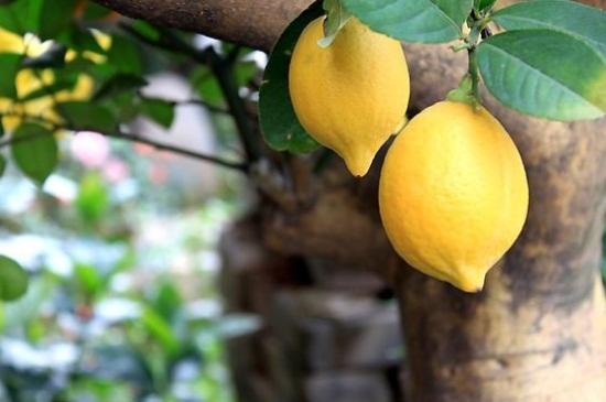 柠檬树黄叶然后掉叶子图片