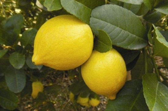 柠檬树冬天掉叶子吗,属常绿植物冬季不会落叶