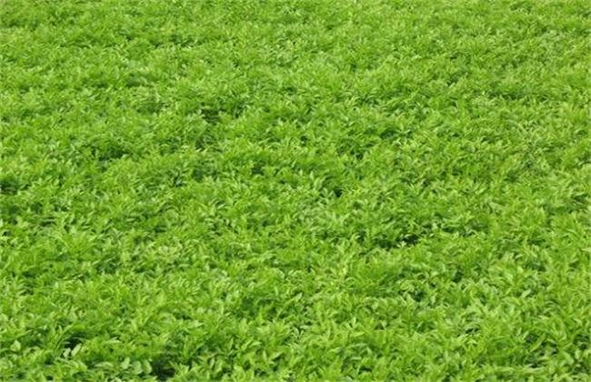水芹菜怎么种