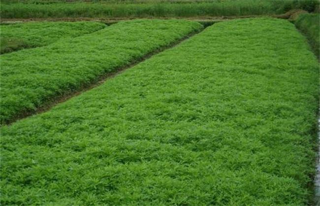 芦蒿的种植办法