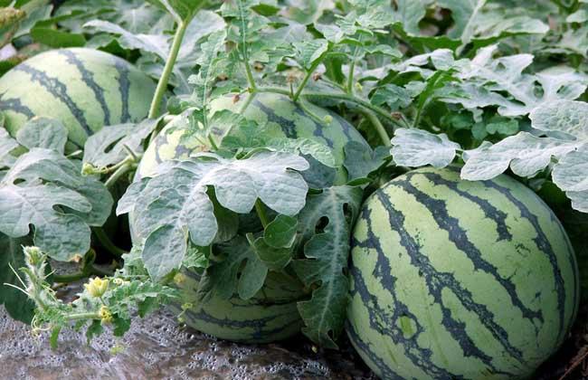 西瓜种植要要注意些什么