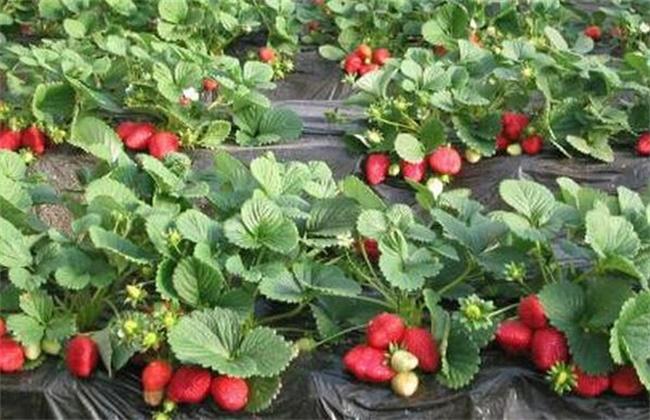 草莓种植不甜的原因