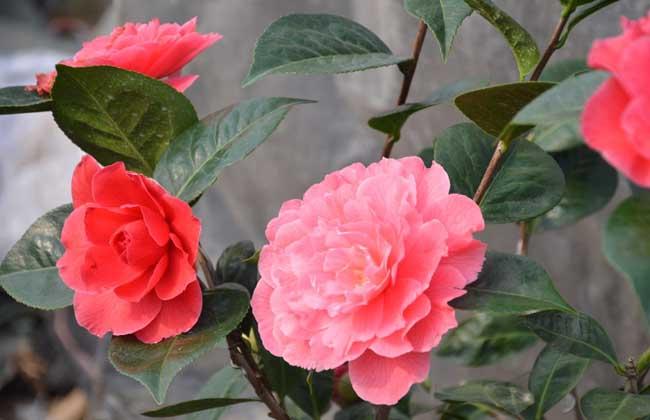 山茶花的花语和故事传说