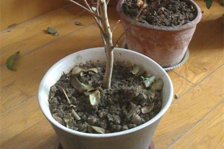 茶花叶子干枯怎么办图片