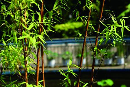 紫竹的养殖办法和注意些什么