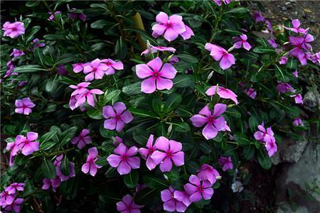 五叶梅种植图片