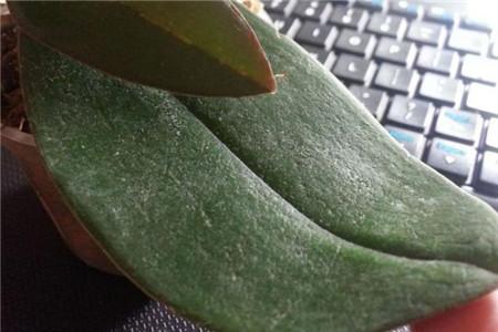 蝴蝶兰叶子褶皱变软图片