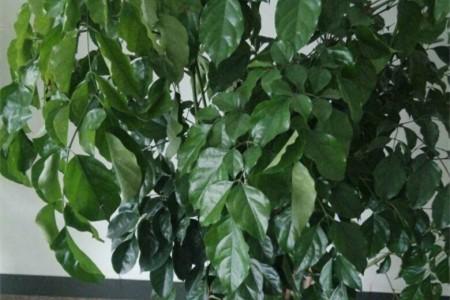 幸福树叶子卷曲是什么原因图片