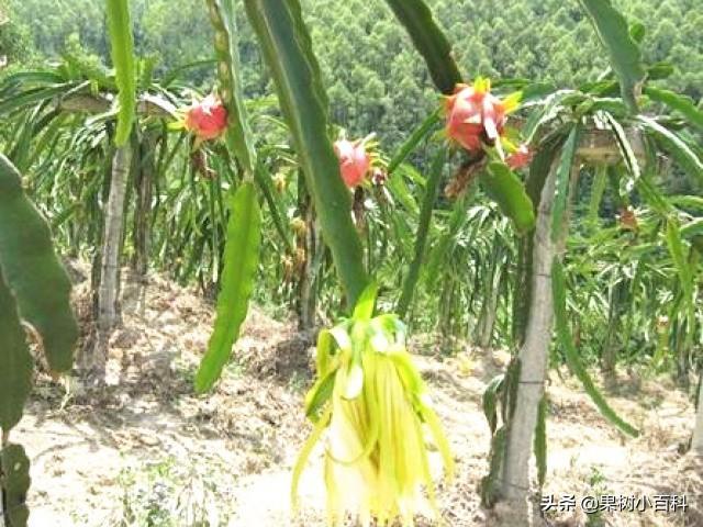 火龙果促花结实的五个要点!品种、摘心、控水、促花、授粉