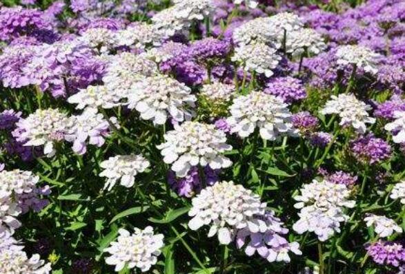 蜂室花的种植方法和时间 蜂室花的养殖方法