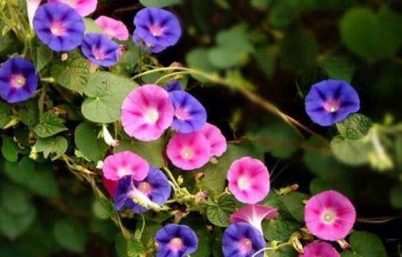 夕颜花有什么功效和作用以及药用价值