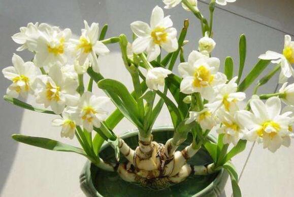 水仙花怎么种植方法 水仙花的养殖方法