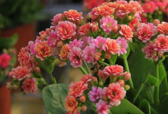 长寿花的养殖方法 长寿花为什么致癌