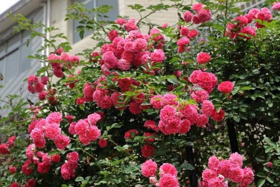 蔷薇花的养殖方法 蔷薇花的扦插方法