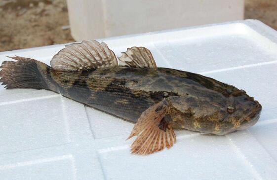 笋壳鱼有什么功效和作用以及禁忌