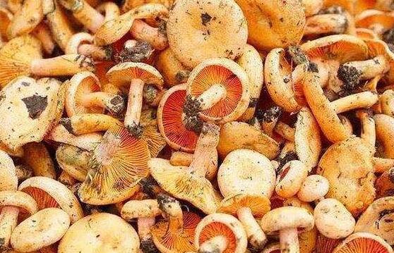 松树菌有什么功效和作用以及禁忌