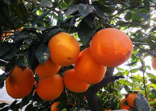 湖南泡柑有什么功效和作用