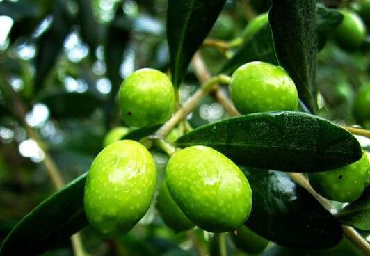 云南野生橄榄果有什么功效和作用