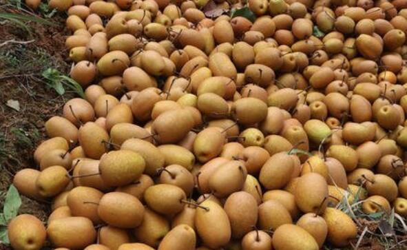 金珠果梨怎么吃 金珠果梨的食用方法