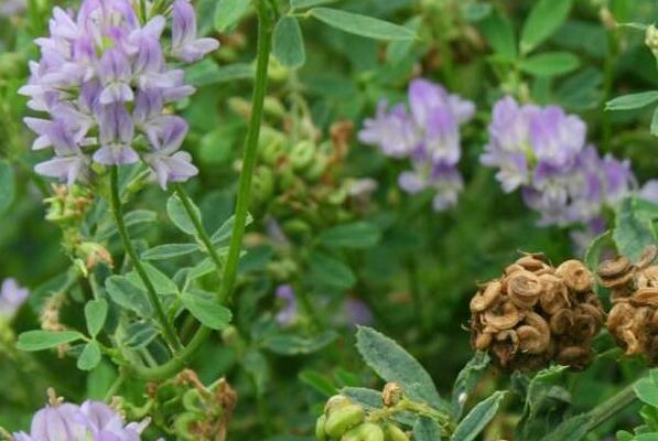 紫花苜蓿有什么功效和作用 紫花苜蓿的副作用