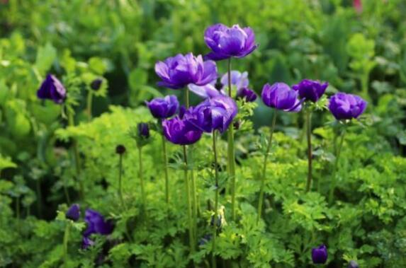 银莲花有什么功效和作用以及药用价值