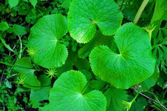 马蹄草有什么功效和作用 马蹄草的副作用