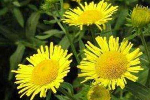旋覆花的药用价值和副作用