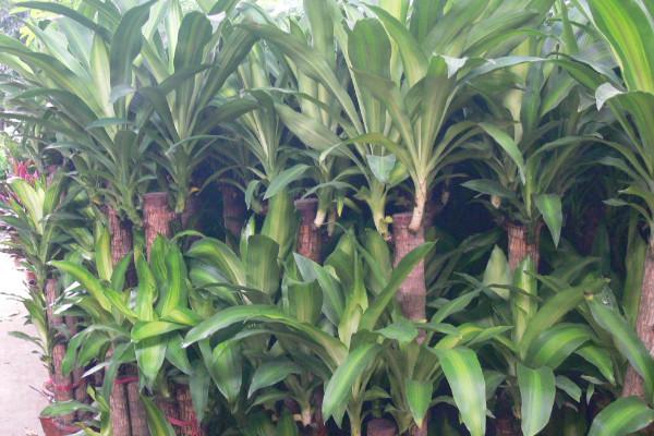 龙血树叶子发黄干枯怎么办,改善通风环境消灭虫害