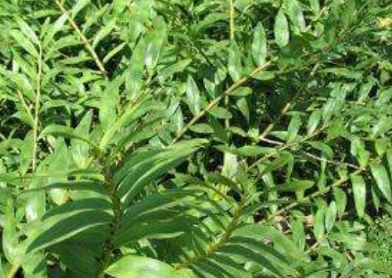 叠鞘石斛在家怎么养 叠鞘石斛的养殖技巧教程