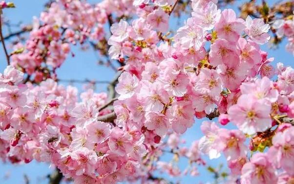哪个品种的樱花最好看