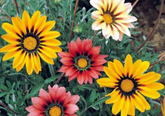 勋章菊的养殖方法和注意事项
